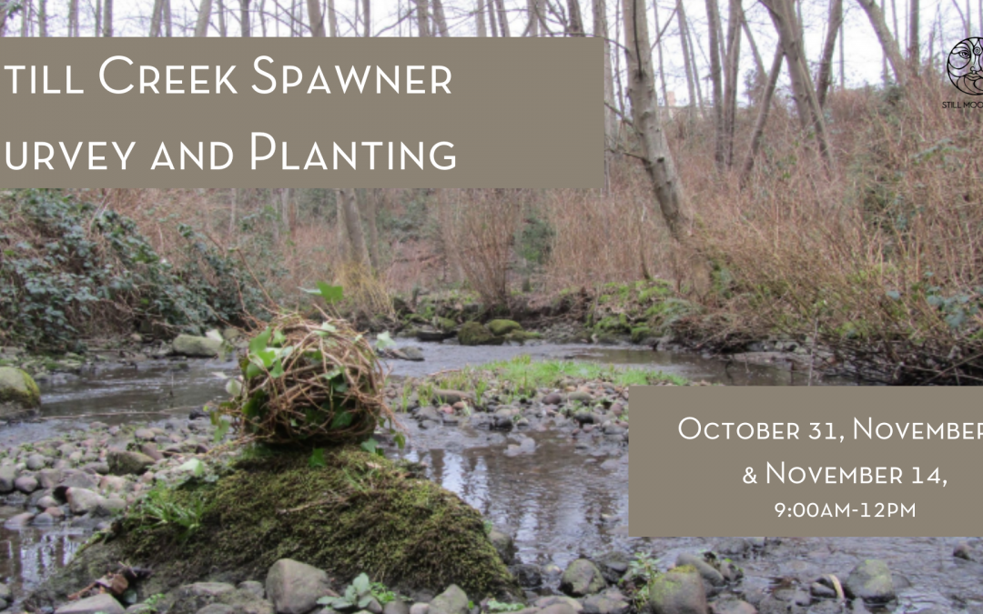Still Creek Salmon Spawner Surveys and Planting